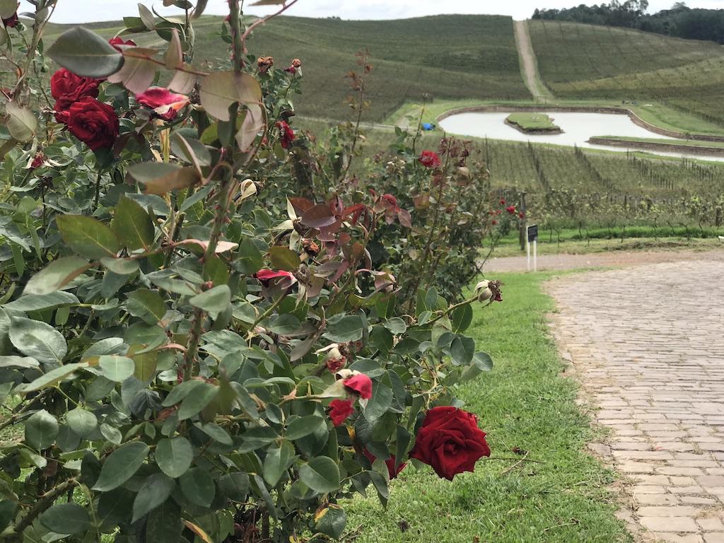 vinícola luiz argenta roseira com rosas vermelhas