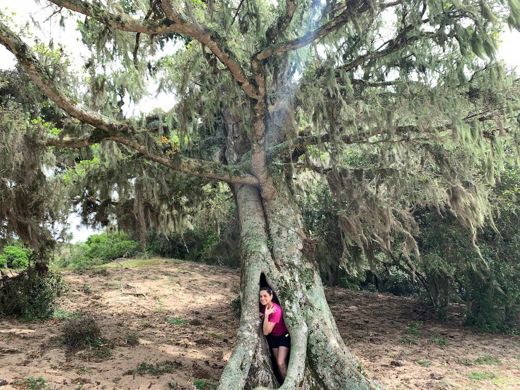 mulher dentro do tronco de figueira centenária