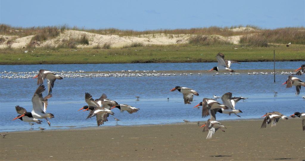 aves voando em frente à lagoa do peixe